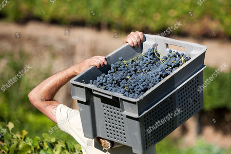 A worker carries a case with grapes to be used for the production of red wine during harvest at the Quinta da Boavista vineyard near Pinhao, northern Portugal, . The estate is historically associated with British winemaker Baron Joseph James Forrester who first mapped the Douro wine region, the oldest demarcated region in the world dating from 1756. Overall, Portuguese wine exports posted a third year of growth in 2012, with a 7.1 percent rise