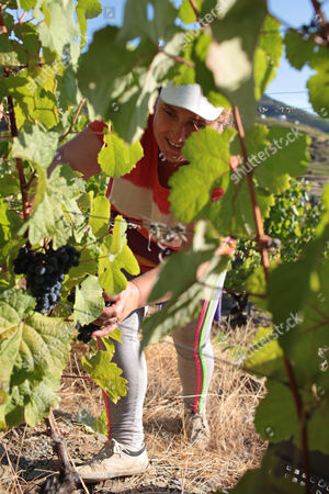 Stock Image of A worker picks grapes to be used for the production of red wine during harvest at the Quinta da Boavista vineyard near Pinhao, northern Portugal, . The estate is historically associated with British winemaker Baron Joseph James Forrester who first mapped the Douro wine region, the oldest demarcated region in the world dating from 1756. Overall, Portuguese wine exports posted a third year of growth in 2012, with a 7.1 percent rise