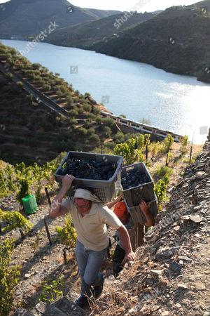 Workers climb stone steps carrying cases with grapes to be used for the production of red wine during harvest at the Quinta da Boavista vineyard near Pinhao, northern Portugal, . The estate is historically associated with British winemaker Baron Joseph James Forrester who first mapped the Douro wine region, the oldest demarcated region in the world dating from 1756. Overall, Portuguese wine exports posted a third year of growth in 2012, with a 7.1 percent rise