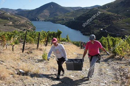 Stock Picture of With the Douro river in the background, workers carry a case of grapes to be used for the production of red wine during harvest at the Quinta da Boavista vineyard near Pinhao, northern Portugal, . The estate is historically associated with British winemaker Baron Joseph James Forrester who first mapped the Douro wine region, the oldest demarcated region in the world dating from 1756. Overall, Portuguese wine exports posted a third year of growth in 2012, with a 7.1 percent rise