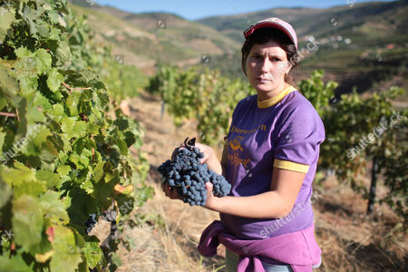 A worker picks grapes to be used for the production of red wine during harvest at the Quinta da Boavista vineyard near Pinhao, northern Portugal, . The estate is historically associated with British winemaker Baron Joseph James Forrester who first mapped the Douro wine region, the oldest demarcated region in the world dating from 1756. Overall, Portuguese wine exports posted a third year of growth in 2012, with a 7.1 percent rise