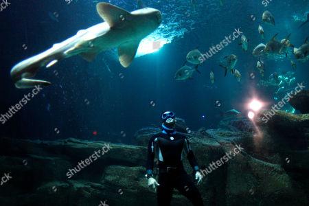 The four times Apnea world record holder, Pierre Frolla, dives near a zebra shark, at the Aquarium of Paris