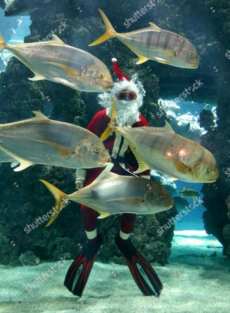 Four times world record holder in free immersion, Pierre Frolla of Monaco, dressed up as Santa Claus, dives without an aqualung amongst fish in the Oceanographic Museum of Monaco aquarium
