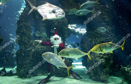 Four times World?s Recordman in free immersion, Pierre Frolla of Monaco, dressed up as Santa Claus, dives without an aqualung amongst fish in the Oceanographic Museum of Monaco aquarium