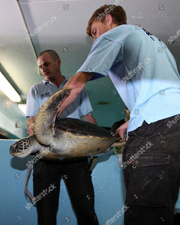 A rehabilitated green sea turtle is carried by life sciences manager Rob Townsend, left, and Nick Harris during a health check at Oceanworld Manly in Sydney, Australia . The turtle was rescued at Cottage Point about 80 kilometers (50 miles) north of Sydney on Nov. 5, 2011 after it was seen showing signs of high stress and floatation issues