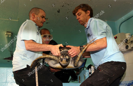 Stock Image of A rehabilitated green sea turtle is carried by life sciences manager Rob Townsend, left, Simon Rajaratnam, center, and Nick Harris during a health check at Oceanworld Manly in Sydney, Australia . The turtle was rescued at Cottage Point about 80 kilometers (50 miles) north of Sydney on Nov. 5, 2011 after it was seen showing signs of high stress and floatation issues