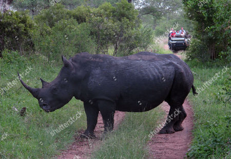 "A rhino stands in a road as tourists approach in a truck near Kruger National Park near Hazyview, South Africa. Howard Buffett, a son of investor Warren Buffett has pledged nearly $24 million for protecting rhinos in South Africa, earmarking the money for ranger teams, sniffer dogs and other security measures in what he hopes can be a robust model for fighting what he calls the ""overwhelming"" problem of poaching in parts of Africa"