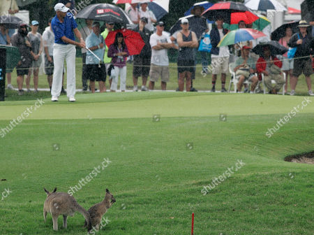 Peter Fowler A kangaroo and it's baby watches as Australian Peter Fowler putts on the 9th hole during the final round of the Australian PGA golf championship held at the Hyatt Regency, in Coolum, Australia