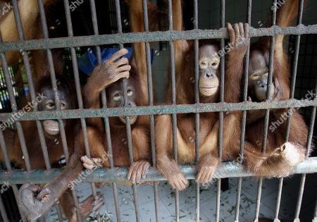 Editorial image of Indonesia Orangutans Back To The Wild, Pasir Panjang, Indonesia