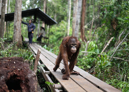 """Stock Image of A juvenile orangutan walks on a wooden path at a care center where he learns the skills needed to survive in the wild in Pasir Panjang, Central Kalimantan, Indonesia. Hundreds of orangutans live at the rehabilitation center waiting to be released into the wild. A half-century ago, more than three-quarters of Indonesia, a sprawling archipelagic nation spanning the width of the United States, was blanketed in plush tropical rainforest. But in the rush to supply the world with pulp, paper and, more recently palm oil _ used in everything from lipstick and soap to """"clean-burning"""" fuel _ half those trees have been cleared. For the first time in years, scientist Birute Mary Galdikas has hopes of releasing them into the wild, thanks to a Hong Kong-based development company's plans to protect a 224,866-acre stretch of forest"""