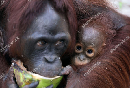 """A baby orangutan looks on as its mother eats coconut at a release site in Tanjung Hanau, Central Kalimantan, Indonesia. A half-century ago, more than three-quarters of Indonesia, a sprawling archipelagic nation spanning the width of the United States, was blanketed in plush tropical rainforest. But in the rush to supply the world with pulp, paper and, more recently palm oil _ used in everything from lipstick and soap to """"clean-burning"""" fuel _ half those trees have been cleared. For the first time in years, scientist Birute Mary Galdikas has hopes of releasing them into the wild, thanks to a Hong Kong-based development company's plans to protect a 224,866-acre stretch of forest"""