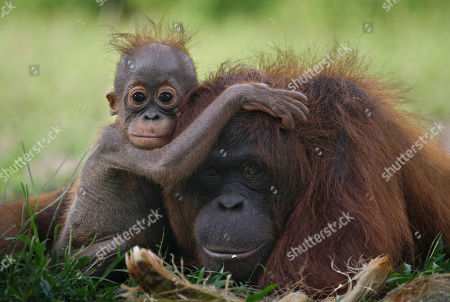 "A baby orangutan clings onto its mother at a release site in Tanjung Hanau, Central Kalimantan, Indonesia. A half-century ago, more than three-quarters of Indonesia, a sprawling archipelagic nation spanning the width of the United States, was blanketed in plush tropical rainforest. But in the rush to supply the world with pulp, paper and, more recently palm oil _ used in everything from lipstick and soap to ""clean-burning"" fuel _ half those trees have been cleared. For the first time in years, scientist Birute Mary Galdikas has hopes of releasing them into the wild, thanks to a Hong Kong-based development company's plans to protect a 224,866-acre stretch of forest"