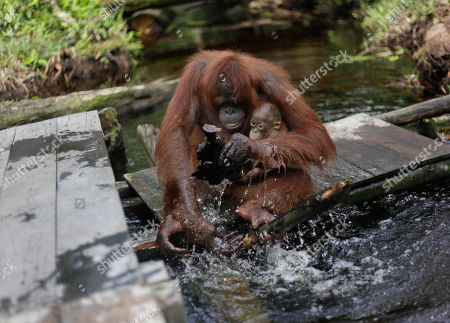 """An orangutan with her baby plays with water at a release site in Tanjung Hanau, Central Kalimantan, Indonesia. A half-century ago, more than three-quarters of Indonesia, a sprawling archipelagic nation spanning the width of the United States, was blanketed in plush tropical rainforest. But in the rush to supply the world with pulp, paper and, more recently palm oil _ used in everything from lipstick and soap to """"clean-burning"""" fuel _ half those trees have been cleared. For the first time in years, scientist Birute Mary Galdikas has hopes of releasing them into the wild, thanks to a Hong Kong-based development company's plans to protect a 224,866-acre stretch of forest"""