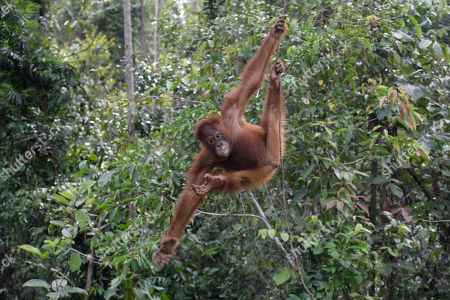 """Stock Photo of A recently-released orangutan swings on a tree at a release site in Tanjung Hanau, Central Kalimantan, Indonesia. A half-century ago, more than three-quarters of Indonesia, a sprawling archipelagic nation spanning the width of the United States, was blanketed in plush tropical rainforest. But in the rush to supply the world with pulp, paper and, more recently palm oil _ used in everything from lipstick and soap to """"clean-burning"""" fuel _ half those trees have been cleared. For the first time in years, scientist Birute Mary Galdikas has hopes of releasing them into the wild, thanks to a Hong Kong-based development company's plans to protect a 224,866-acre stretch of forest"""