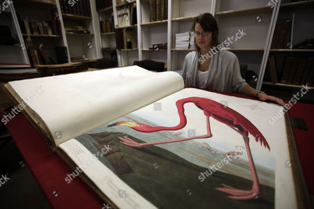 "Sotheby's auction house worker Mary Engleheart, goes through a rare copy of a book of illustrations by John James Audubon's ""Birds of America,"" in central London, . The collection of 435 hand-colored prints, made from engravings of Audubon's illustrations, measures more than 3 feet by 2 feet (90 centimeters by 60 centimeters) because Audubon wanted to paint the birds life size. According to the house, the book of four volumes could reach 6 million pounds ($9.25 million) when it is auctioned in the Magnificent Books, Manuscripts and Drawings from the Collection of Frederick, 2nd Lord Hesketh sale which will take place at Sotheby's in London on Dec. 7, 2010"