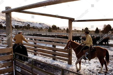 Stock Photo of Stacy Davies, manager of the Roaring Springs Ranch, left, and buckaroo Brandon Hoagland, work cattle in corrals at Three Mile Creek near Frenchglen, Ore. on . A bunch of calves being weaned at the corrals were stolen by rustlers in spring 2008. It was one of a rash of cattle thefts in recent years that remain a mystery in the remote region where Oregon, Idaho and Nevada come together