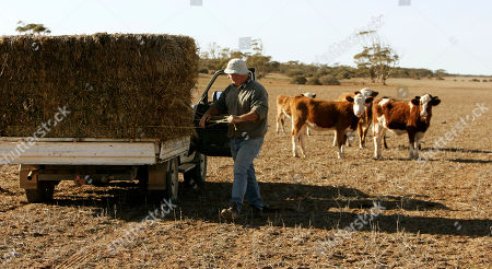 Glen Phillips Glen Phillips cuts the binding on a hay bale as his cattle begin to gather for the feed on his farm near Poochera, on South Australia's Eyre Peninsula, 640 km (400 miles) west of Adelaide, . This season's lack of rain would mean a third year of drought in South Australia's Eyre Peninsula, where Phillips has farmed for 34 years