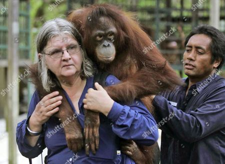 """Birute Mary Galdikas Canadian primatologist Birute Mary Galdikas carries an orangutan named Isabel, helped by an unidentified assistant, before releasing her into the wild at Tanjung Puting National Park on Borneo island, Indonesia. The film """"Born To Be Wild 3D"""" about Galdikas' efforts to rescue orangutans and return them to the country's rapidly disappearing jungles has made its way home"""