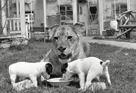 Editorial picture of Pups straddle the huge paws of lioness