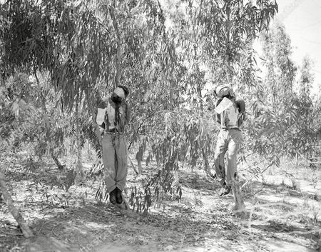 The Bodies of British sergeants Clifford Martin (left) and Mervyn Paice as they hung from Eucalyptus trees,, near Natanya Palestine In a exclusive picture taken by AP staff photographer James Pringle prior to explosion of a booby trap that mutilated the bodies. The tow seergeants had been kidnapped july 12, 1947