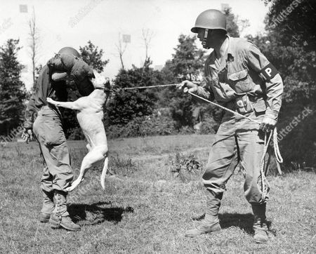 "Sgt. Richard P. Magee, right, of Adams Diggings, New Mexico, leads his bull-terries ""Jock"" trough his paces in how to deal with intruders in Normandy, France, . The obliging ""victim"" is Pfc. Thomas E. Kudzman, of 4603 S. Francisco Ave., Chicago, Ill. Sgt. Magee is in charge of all the dogs at the base"