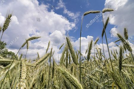 Green ears of Rye (Secale cereale), rye field against a blue sky with clouds