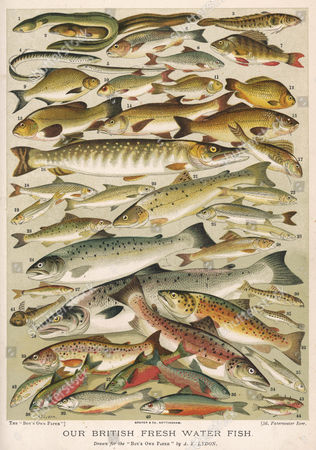 An Assortment of Fish: 1 Sharp-nosed Eel 2 Blunt-nosed Eel 3 Burbot 4 Lamprey 5 Lampern 6 Chub 7 Perch 8 Roach 9 Bream 10 Rudd 11 Prussian Carp 12 Crucian Carp 13 Tench 14 Barbel 15 Carp 16 Pike 17 Ruff 18 Dace 19 Dudgeon 20 Powan 21 Sea Trout 22 Vendace 23 Loch Leven Trout 24 Salmon Trout 25 Gwyniad 26 Smelt 27 Minnow 28 Grayling 29 Salmon 30 Loach 31 Spined Loach 32 Gillaroo Trout 33 Common Trout 34 Great Lake Trout 35 Bleak 36 Gray's Charr 37 Welsh Charr 38 Windermere Charr 39 Alpine Charr 40 Cole's Charr 41 Bullhead Or Miller's Thumb 42 Salmon Parr 43 Three-spined Stickleback 44 Ten-spined Stickleback 1896