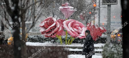 A Man Walks Next to the Art Installation 'The Roses' by Us Artist Will Ryman on Park Avenue in New York New York Usa 25 January 2011 'The Roses' Cover 10 Blocks of Park Avenue with an Unseasonable Crop of Giant Pink and Red Rose Blossoms United States New York