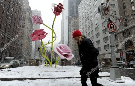 A Woman Passes in Front of the Art Installation 'The Roses' by Us Artist Will Ryman on Park Avenue in New York New York Usa 25 January 2011 'The Roses' Cover 10 Blocks of Park Avenue with an Unseasonable Crop of Giant Pink and Red Rose Blossoms United States New York