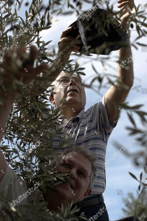 Palestinian Prime Minister Salam Fayyad (top) and the Un Special Coordinator For the Middle East Pease Process Robert H Serry Pick Olives in the West Bank Village of Turmus Ayya on 26 October 2010 As They Mark the United Nations Day - Turmus Ayya