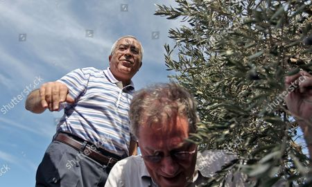 Palestinian Prime Minister Salam Fayyad in (l) and the Un Spatial Coordinator For the Middle East Peace Process Robert H Serry (c) Help with Olive Harvest in the West Bank Village of Turmus Ayya on 26 October 2010 As They Mark the Un Day - Turmus Ayya