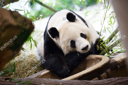The female Yang Yang Panda rest in her enclosure at Vienna Zoo in Vienna, Austria, 06 January 2017. The Yang Yang Panda gave birth to the twin Pandas, female Fu Feng and her brother Fu Ban, on 07 August 2016 in the Vienna's Schoenbrunn Zoo.