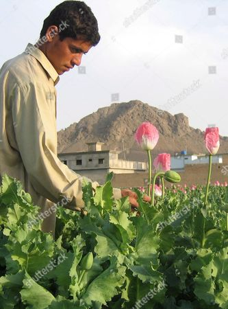 An Afghan Man Checks Poppy Buds in His Fields in Kandahar Tuesday 10 April 2007 Afghan President Hamid Karzai Has Vowed to Destroy the Country's Illegal Drug Trade to Prevent Afghanistan From Becoming a Narco State the Poppy Eradication Campaign Has Angered Poor Afghan Farmers Who Depend On the Illegal Income That Poppy Harvests Generate