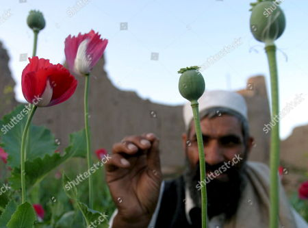An Afghan Farmer Checks Poppy Buds in His Fields in East of of Kabul On Monday 09 April 2007 Afghan President Hamid Karzai Has Vowed to Destroy the Country's Illegal Drug Trade to Prevent Afghanistan From Becoming a Narco State the Poppy Eradication Campaign Has Angered Poor Afghan Farmers Who Depend On the Illegal Income That Poppy Harvests Generate