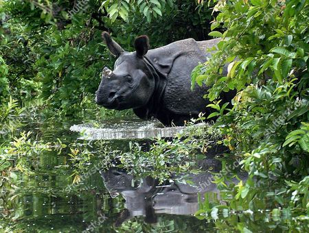 Great Onehorn Rhino Wades Through Floodwater Pobitira Editorial
