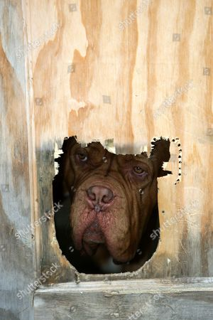 Editorial image of Hound dog Moses Chan, who got his head stuck in a cat flap, Welwyn Garden City, Hertfordshire, Britain - Jul 2008