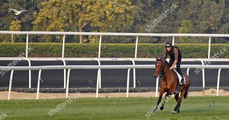 George Baker trained BELGIAN BILL preparing for the Dubai World Cup Carnival at Meydan Dubai