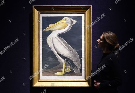 A Bonham's Staff Looks Over John James Audubon's 'American White Pelican' Artwork During the Lauren Bacall Collection Sale at Bonham's in London Britain 13 February 2015 the Artwork is Expected Fetch 35 000-53 000 Euros at an Auction in New York on 31 March United Kingdom London