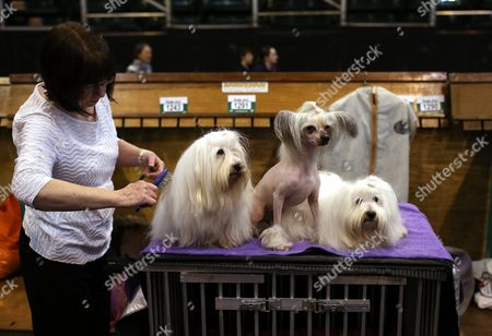 Owner Elizabeth Wilson Groomes Her Chinese Crested and Coton De Tulear Dogs During the Annual Crufts Dog Show at the Nec Arena in Birmingham Britain 10 March 2016 the World's Largest Dog Show Will Be Held From 10 to 13 March with 22 000 Dogs Competing For the World Class Title of Crufts Best in Show United Kingdom Birmingham