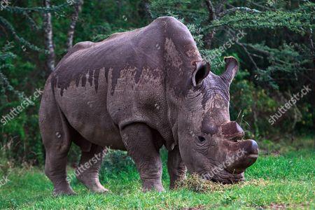Editorial photo of Kenya Conservation White Rhino Rhino - May 2015