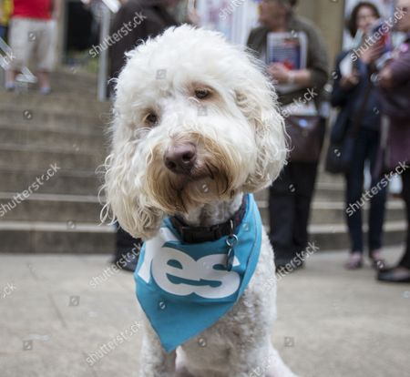 A Dog Owned by Lorraine Mcintosh Singer with the Scottish Group Deacon Blue Shows Its True Colours Wearing a Yes Scarf During a Final Rally by Supporters of the Yes Campaign on the Steps of the Royal Concert Hall in Glasgow Scotland 17 September 2014 Both Sides in the Scottish Referendum Were Holding Rallies During the Day to Win Over Undecided Voters That Hold the Key to the Outcome on the Eve of the Vote United Kingdom Glasgow