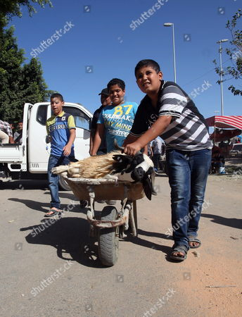 A Sacrificial Animal is Brought to Market in a Wheel Barrow Ahead of Eid Al-adha Celebrations in Tripoli Libya 14 October 2013 Muslims All Over the World Are Preparing to Celebrate Eid Al-adha Which According to the Lunar Calendar Will Be Celebrated on 15 October Libyan Arab Jamahiriya Tripoli