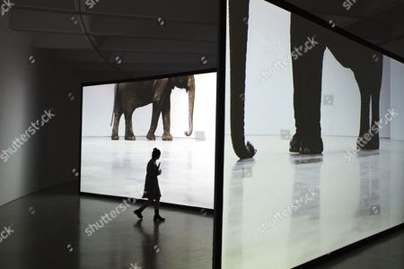 A Visitor to the Smithsonian Hirshhorn Museum and Sculpture Garden Walks Beside Monitors Depicting an Elephant in the Installation with Two-channel Projection Entitled 'Play Dead; Real Time' by Artist Douglas Gordon; Which is Part of the Exhibit 'Days of Endless Time' During a Preview For Members of the News Media on the 40th Anniversary of the Museum in Washington Dc Usa 15 October 2014 Two Major New Exhibitions 'At the Hub of Things - New Views of the Collection' and 'Days of Endless Time' Highlight Gallery Renovations and Open to the Public 16 October to Mark the Opening of the Museum Forty Years Ago United States Washington