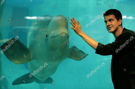 French Counter-tenor Philippe Jaroussky Interacts with a Beluga Whale at the Oceanografic in Valencia Spain 02 October 2014 the Beluga Whales Are the Cetaceans That Offer a Wider Range of Sounds; Reason why They Are Known As 'The Sea Canaries' Due to Their Complete Repertoire of Chirpings and Clicks That Can Be Heard in and out of the Water Spain Valencia