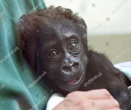 Eight-weeks-old Gorilla Baby 'Mary Two' at the Zoo Wilhelma of Stuttgart Germany 13 July 2007 'Mary Two' was Born in Muenster But Rejected by Its Mother and Has Found a New Home in Stuttgart Germany Stuttgart