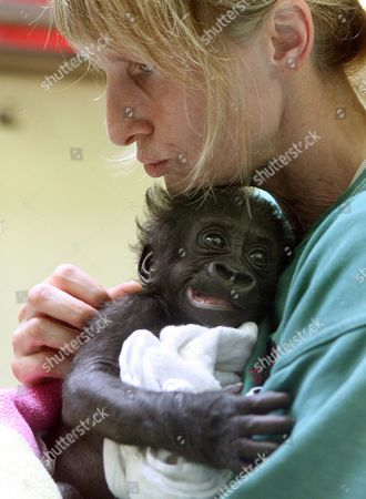 A Keeper Nuzzles Eight-weeks-old Gorilla Baby 'Mary Two' at the Zoo Wilhelma of Stuttgart Germany 13 July 2007 'Mary Two' was Born in Muenster But Rejected by Its Mother and Has Found a New Home in Stuttgart Germany Stuttgart