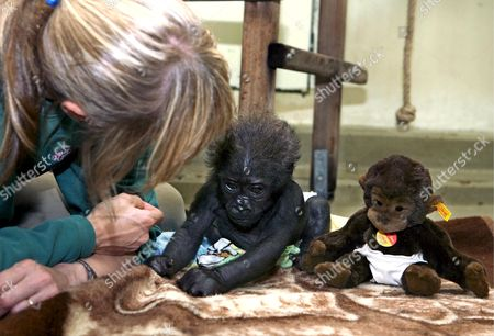 Keeper Margot Federer (l) Plays with Ten-weeks-old Gorilla Baby 'Mary Two' (c) and Its Steiff Special Edition Soft Toy (r) in Stuttgart Germany 10 August 2007 Stuttgart Zoo 'Wilhelma' Donates Its Interest in the Proceeds to Protection of Species Organisation 'Berggorilla & Regenwals Direkthilfe E V ' ('mountain Gorilla & Rain Forest Direct Help') Germany Stuttgart