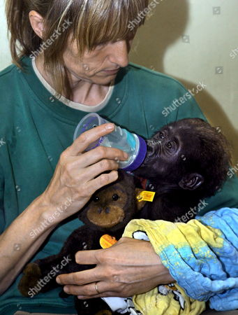 Keeper Margot Federer (l) Bottle-feeds Ten-weeks-old Gorilla Baby 'Mary Two' (r) and Its Steiff Special Edition Soft Toy (l) in Stuttgart Germany 10 August 2007 Stuttgart Zoo 'Wilhelma' Donates Its Interest in the Proceeds to Protection of Species Organisation 'Berggorilla & Regenwals Direkthilfe E V ' ('mountain Gorilla & Rain Forest Direct Help') Germany Stuttgart