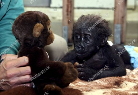 Editorial photo of Germany Gorilla Baby - Aug 2007