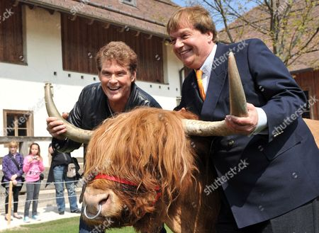 Us Actor and Singer David Hasselhoff (l) and the Founder of Animal Sancutary 'Gut Aiderbichl' Michael Aufhauser Pose with Garfield a Aurochs (bos Primigenius Taurus) in Salzburg Austria 24 April 2010 Hasselhof Will Perform His New Song 'This Time Around' in the German Folk Music Television Show 'Musikantenstadl' on 24 April Austria Salzburg